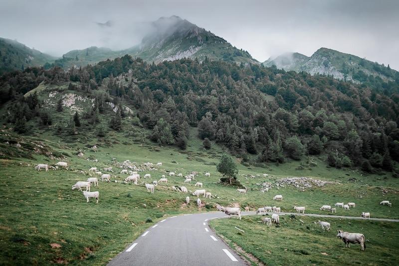 Vaches dans les routes des Pyrénées